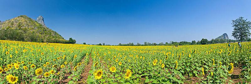 全景,向日葵,田地,自然美,水平画幅,无人,夏天,特写,泰国,罗布里省