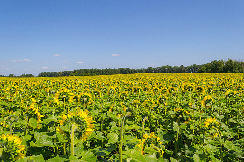 农业,向日葵,天空,黄色,秋天,叶子,田地,绿色,蓝色,明亮