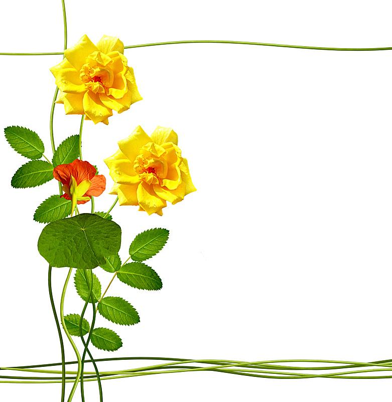 分离着色,白色背景,旱金莲花,康乃馨,垂直画幅,美,边框,荆棘,夏天,组物体