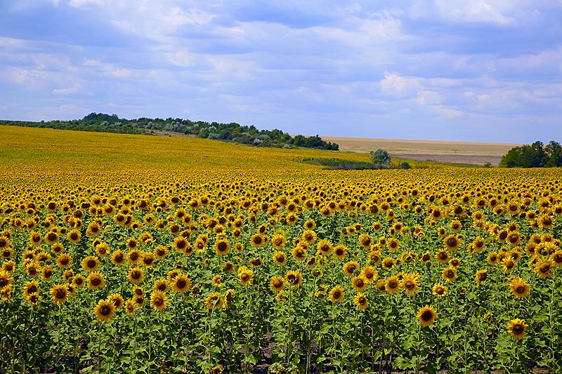 向日葵,天空,田地,背景,海洋,农业,农场,植物,夏天,户外