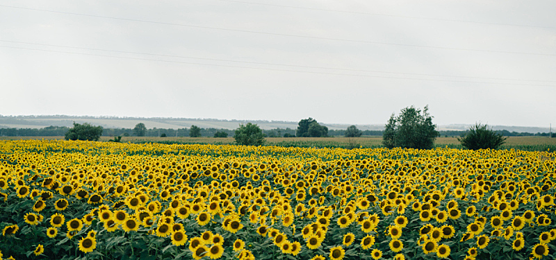 向日葵,田地,水平画幅,无人,夏天,户外,清新,农业,叶子,积雨云