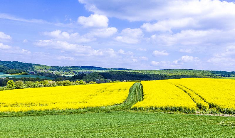 油菜花,农作物,芸苔,生物柴油,单一栽培,天空,水平画幅,能源,无人,户外