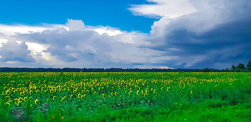 天空,田地,黄色,向日葵,海洋,美,水平画幅,云,夏天,户外