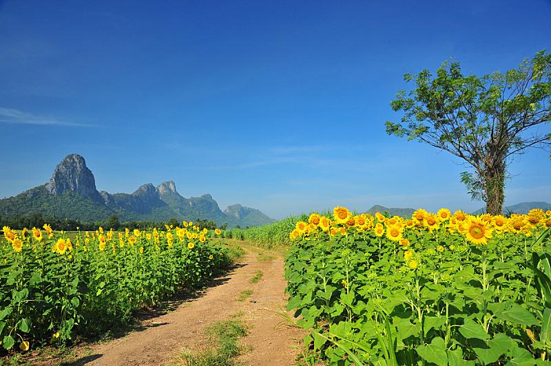 田地,向日葵,春天,天空,美,水平画幅,夏天,户外,特写,明亮