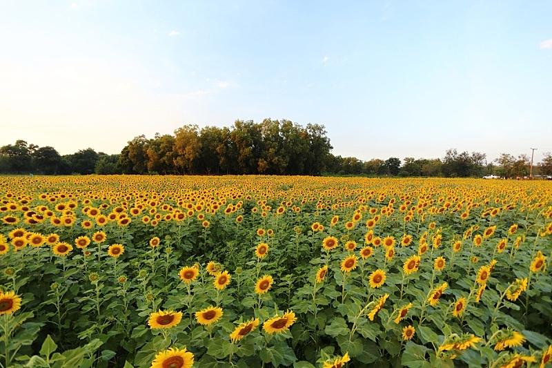 泰国,向日葵,自然,天空,水平画幅,无人,蓝色,夏天,户外,自然美