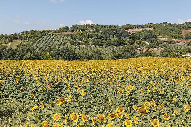 地形,意大利,向日葵,绿色,全貌,自然,天空,水平画幅,无人,蓝色