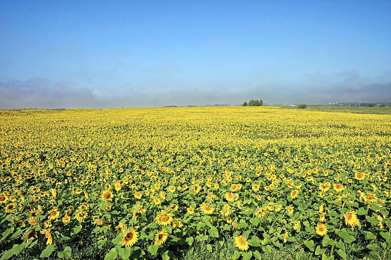 田地,向日葵,天空,草原,水平画幅,云,无人,旭川,夏天,户外