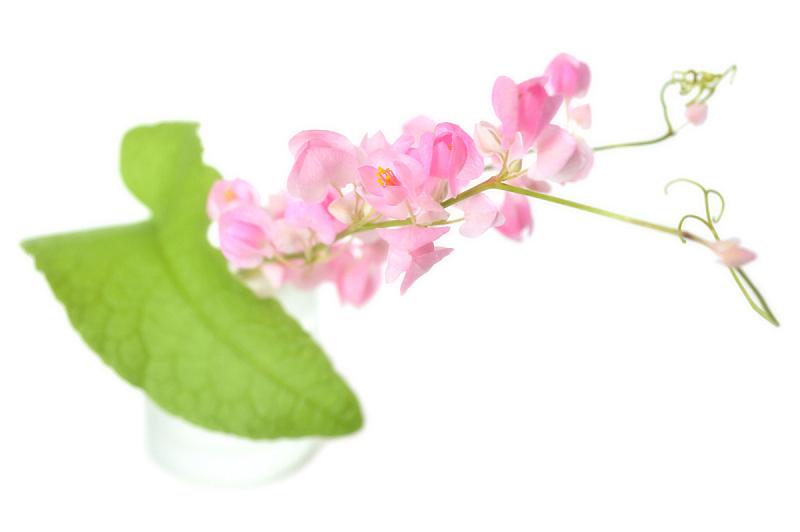 攀缘植物,蓝花藤,卷须,有蔓植物,水平画幅,绿色,无人,蓼科,玻璃,花
