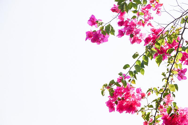 三角梅,行星,纸花,清新,热带气候,泰国,春天,植物,夏天,户外