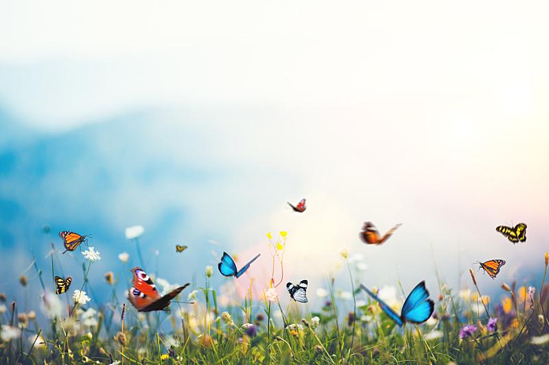 蝴蝶,鳞翅类,蓝色闪光蝶,草蜻蛉蝶,草地,野花,毛莨科,春天,黑脉金斑蝶,田地