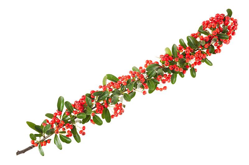 火棘,自然,水平画幅,无人,浆果,荆棘,白色背景,红色,圣诞装饰物,植物