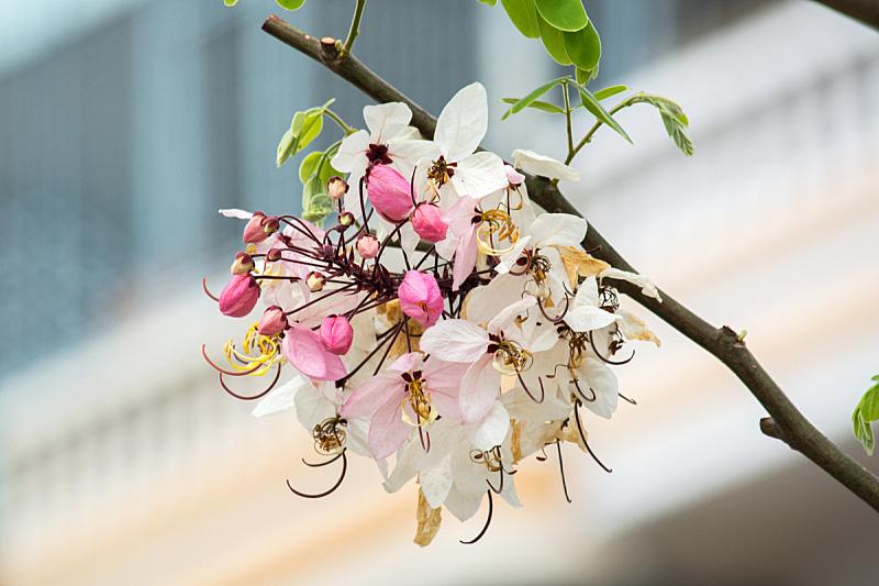 粉色,肉桂,自然,水平画幅,无人,蓝色,夏天,户外,泰国,植物茎