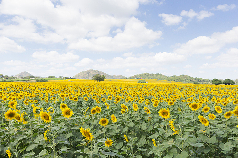 向日葵,水平画幅,夏天,户外,泰国,明亮,农作物,田地,农业,叶子