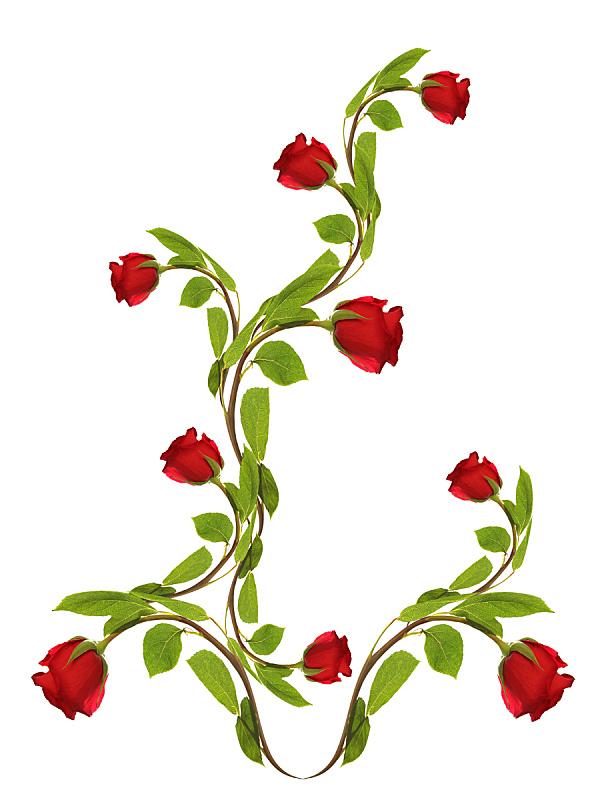 玫瑰,白色,背景,垂直画幅,贺卡,边框,枝繁叶茂,夏天,组物体,特写