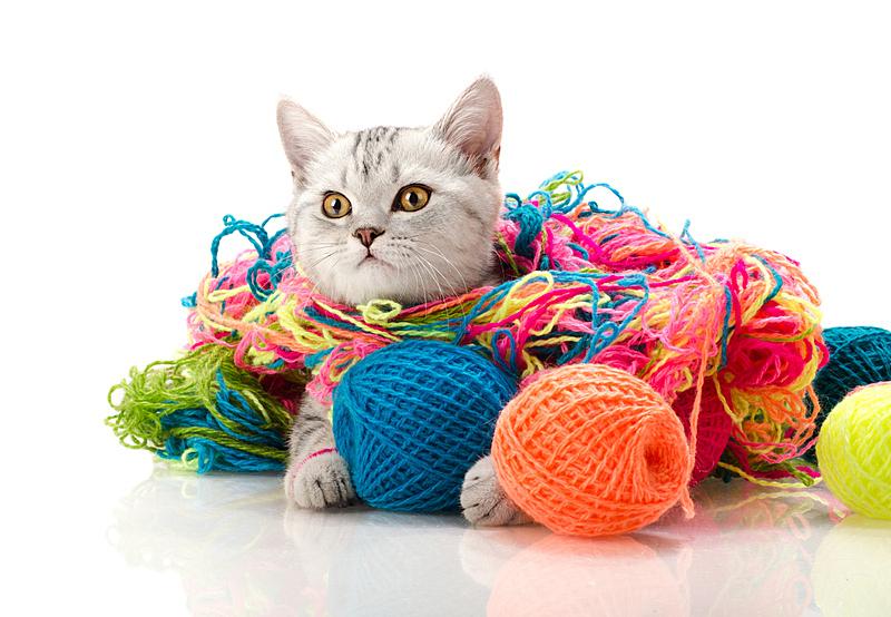 小猫,羊毛线球,科鲁湾,苏格兰折耳猫,线,猫,分离着色,球,背景分离,灰色