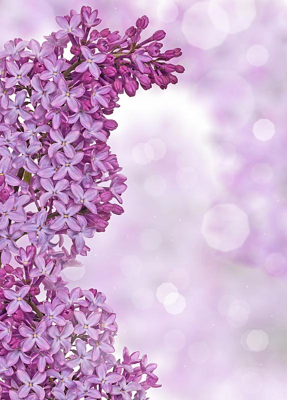 丁香花,背景,轻的,自然,垂直画幅,式样,无人,香水,组物体,特写