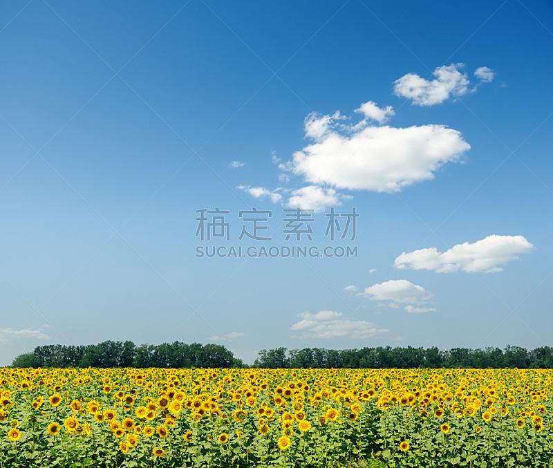 天空,向日葵,田地,农业,蓝色,互联网,在上面,云,日落时分,夏天