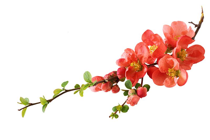 橙色,樱花,自然,水平画幅,无人,白色背景,花蕾,春天,彩色图片,枝