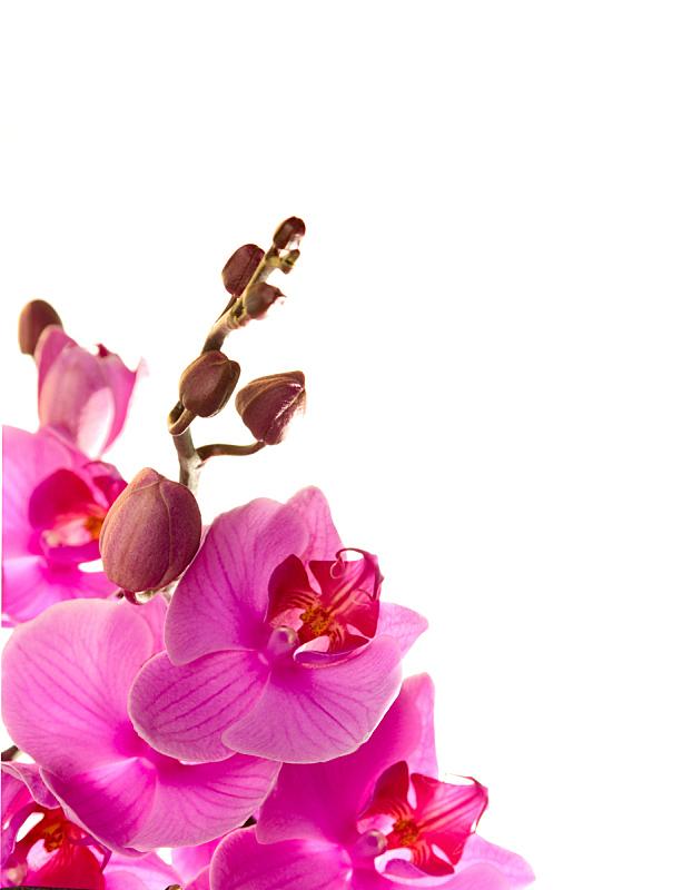 兰花,粉色,自然,垂直画幅,留白,无人,特写,影棚拍摄,植物茎,花蕾