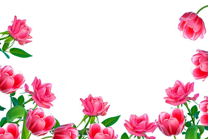 玫瑰,郁金香,白色背景,花蕾,清新,背景分离,壁纸,春天,植物,夏天