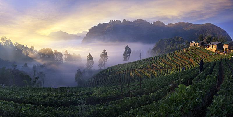 黎明,草莓,雾,风景,山,泰国,北,稻草,天空,暴风雨