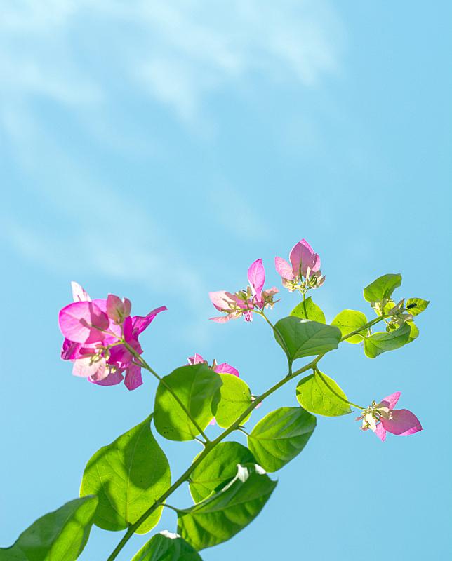灌木,非洲,粉色,垂直画幅,天空,新的,枝繁叶茂,夏天,植物学