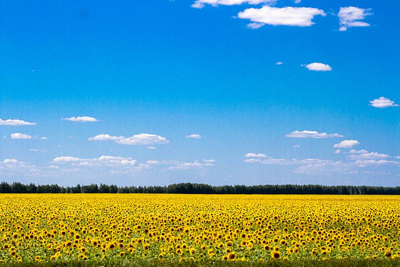 向日葵,农业,景观设计,边框,食品,复古风格,自然美,古典式,春天,植物