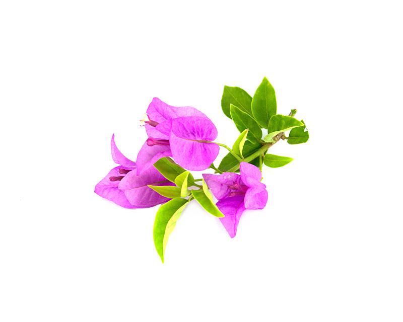 三角梅,自然,水平画幅,秧苗,无人,白色背景,特写,植物茎,紫色,植物学