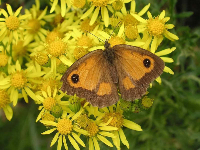 蝴蝶,雏菊族,美,褐色,水平画幅,纹理效果,动物身体部位,夏天,特写,人的眼睛