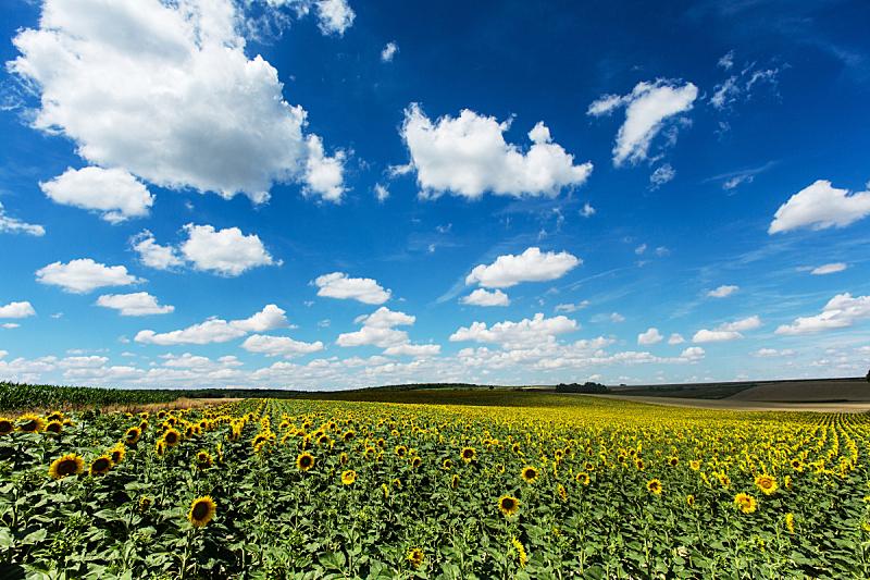 云,积雨云,向日葵,田地,自然,天空,水平画幅,地形,景观设计,无人
