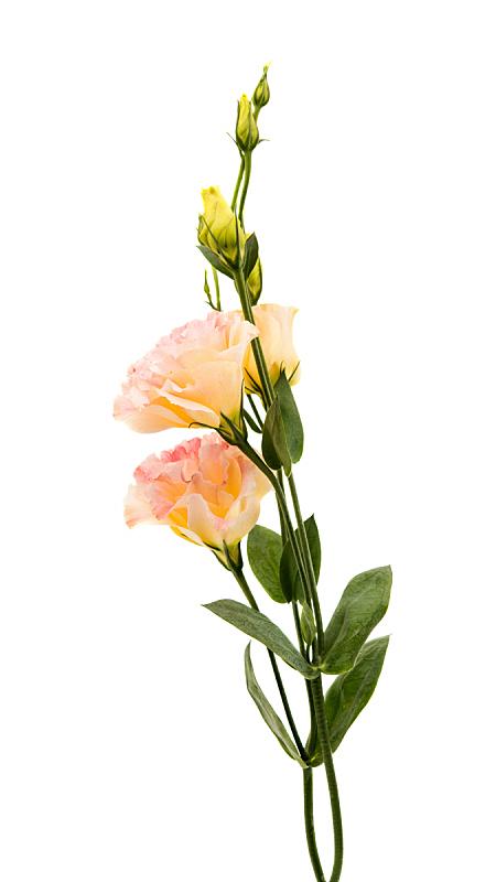 仅一朵花,洋桔梗,垂直画幅,植物茎,米色,高雅,特写,背景,脆弱,摄影