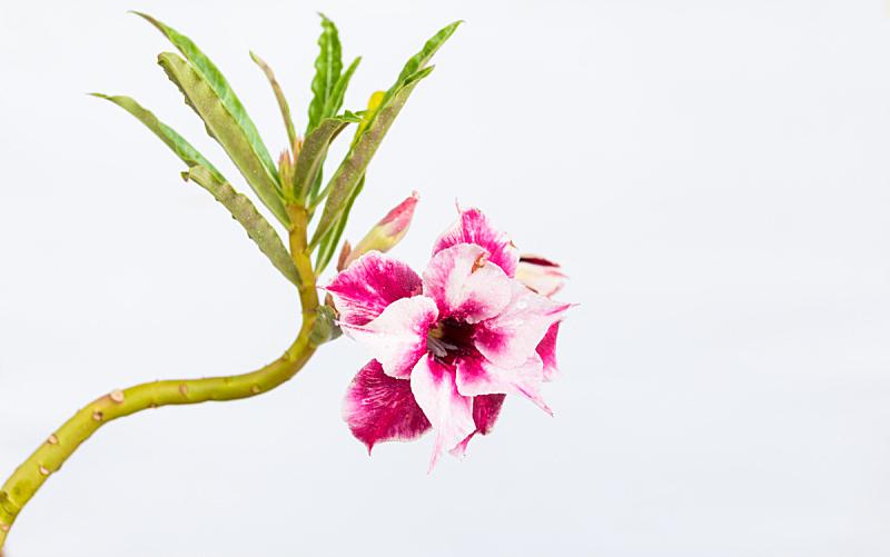 杜鹃花,水平画幅,无人,偏远的,沙漠玫瑰,特写,植物,英文字母a,植物学,园艺