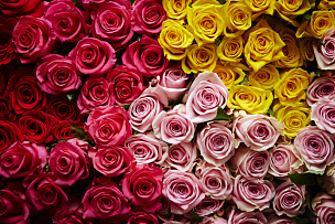 玫瑰,背景,自然,水平画幅,橙色,可爱的,浪漫,自然美,红色,花蕾