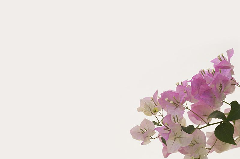 三角梅,白色背景,自然,太空,美,幸福,气候,水平画幅,夏天,泰国