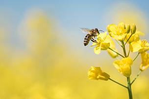 蜂蜜,蜜蜂,春天,油菜花,天空,留白,三角钢琴,草,农作物