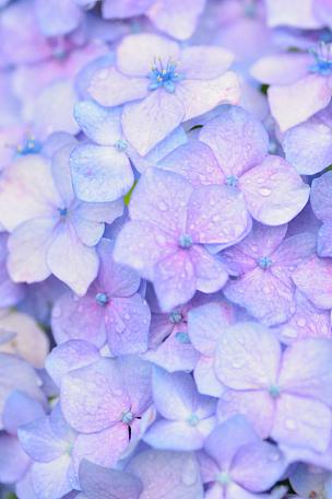 八仙花属,水,纹理效果,大特写,蓝色,水滴,横滨,飞溅的水滴,星和园,花纹
