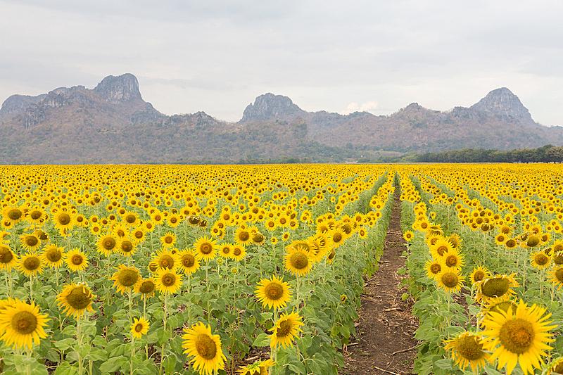田地,向日葵,背景,山,天空,水平画幅,无人,早晨,夏天,户外