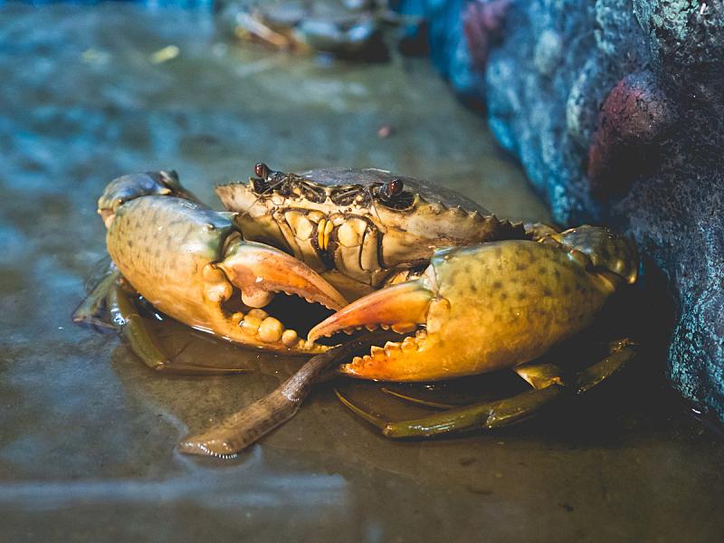 螃蟹,海洋,未来,巨大的,fiddler crab,石蟹,丹金尼斯螃蟹,人工饲养动物,爪,水族馆