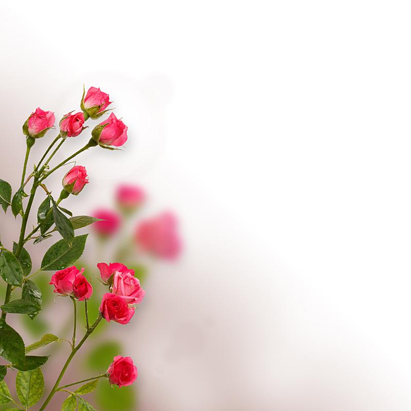 白色背景,分离着色,背景,在上面,玫瑰,留白,自然,图像特效,无人,周年纪念