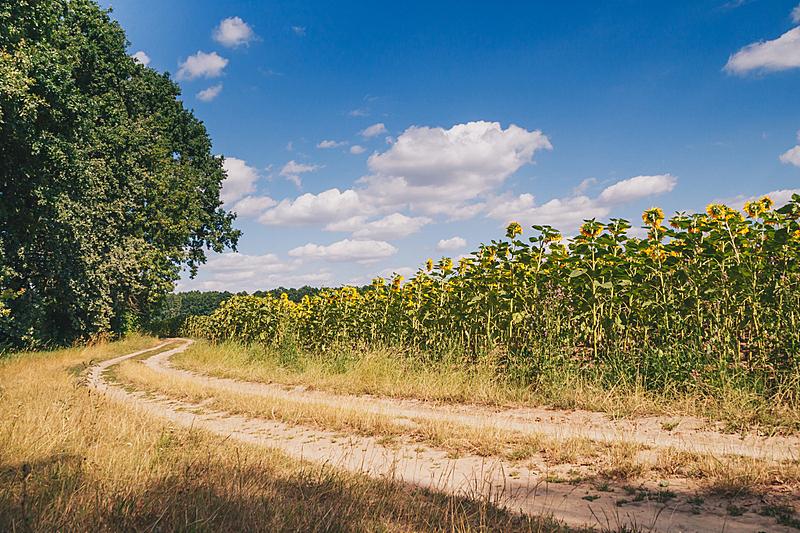 蓝色,向日葵,田地,天空,夏天,成年的,女人,非都市风光,田园风光,户外
