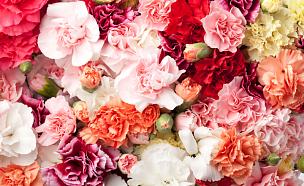 康乃馨,母亲节,国际妇女节,美,水平画幅,无人,园艺,花束,白色,彩色图片