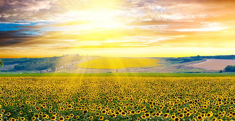 向日葵,农作物,天空,水平画幅,早晨,曙暮光,夏天,户外,草,云景