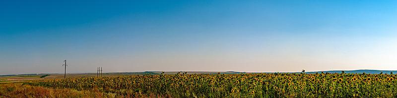 农场,向日葵,全景,田地,干草,稻草,牲畜,冬天,花,割