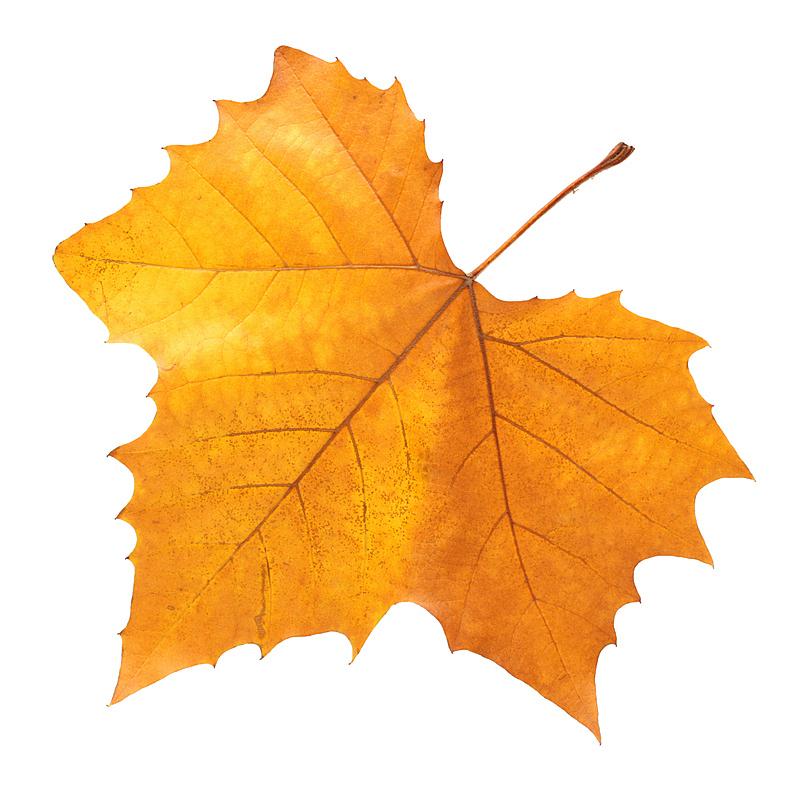 白色背景,枫叶,九月,叶子,枫树,秋天,褐色,美术工艺,色彩鲜艳,手艺