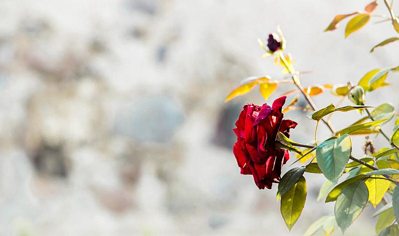 红色,自然美,玫瑰,葡萄酒,美,艺术,水平画幅,情人节,符号,夏天