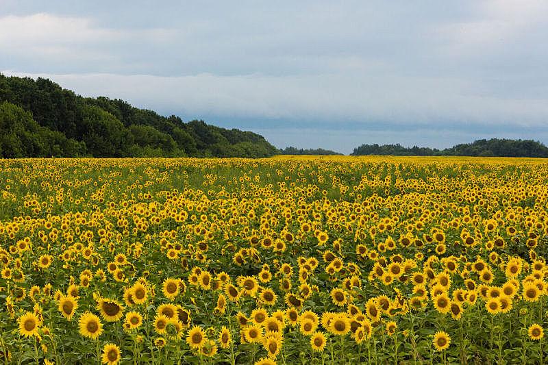 夏天,向日葵,白昼,田地,水平画幅,无人,户外,草,图像,特写