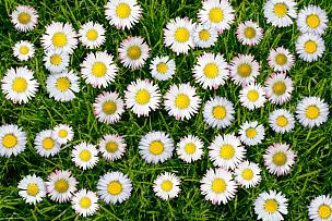 雏菊,草地,花头,鲜花盛开,地毯,厚的,水平画幅,高视角,无人,草坪