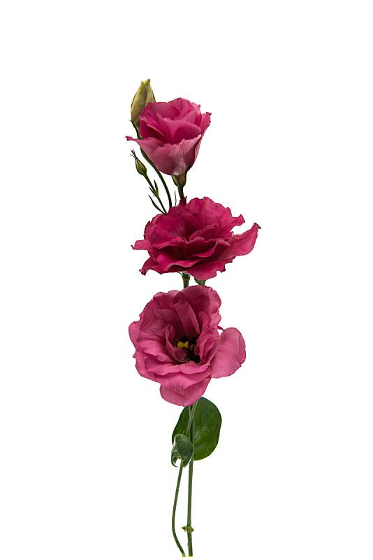 lisianthus,仅一朵花,垂直画幅,美,夏天,特写,完美,工作室,明亮,开着的