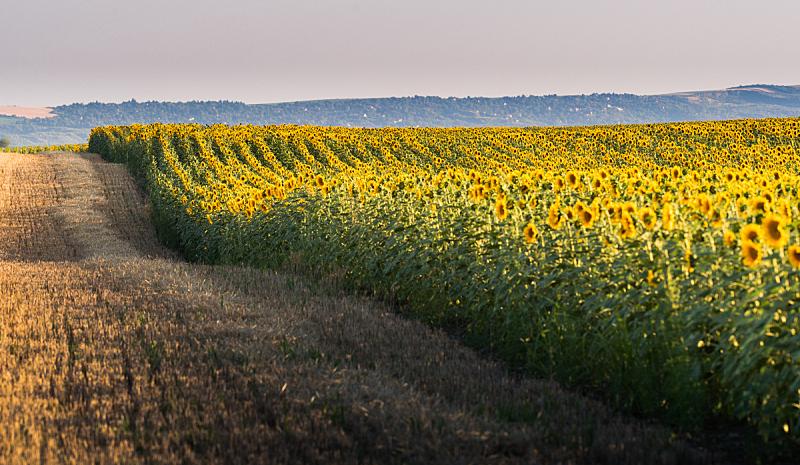 夏天,田地,热,日光,向日葵,白昼,美,水平画幅,无人,户外