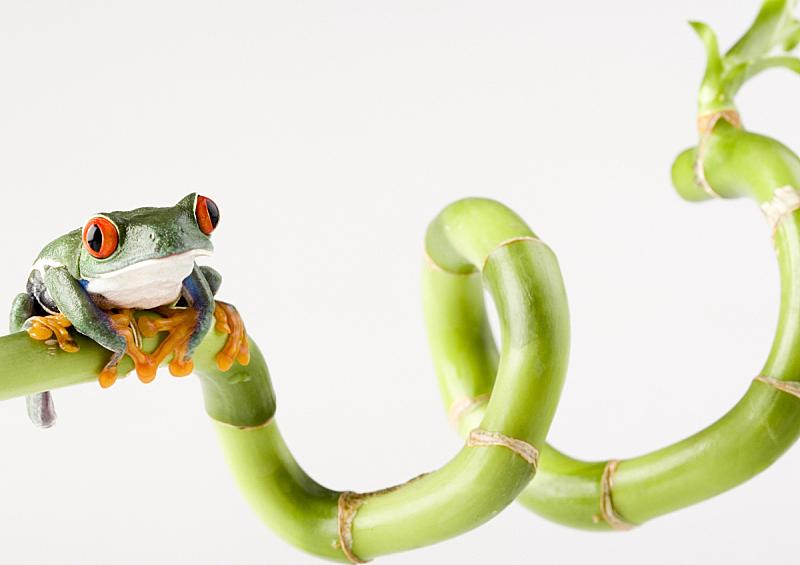 青蛙,眼痛,水平画幅,无人,充满的,看,彩色图片,红眼树蛙,大特写,蟾蜍